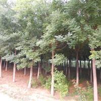 河北保定供应栾树,五角枫,高接矮接金枝槐,金叶榆