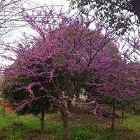 加拿大紫荆、紫荆、进口紫荆、金华苗木