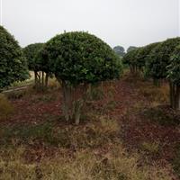批发造型罗汉松10-12公分价格、造型赤楠、造型榆树、杨梅球