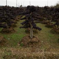 批发造型杨梅树、造型杜英、造型赤楠、造型红桎木古桩、桂花树