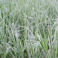 玉带草报价,玉带草种植基地,玉带草厂家