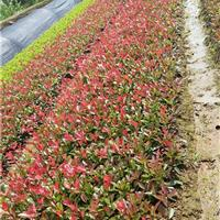 优质红叶石楠小苗批发 红叶石楠树价格 花开艳丽的红叶石楠价格
