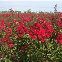 供應美國紅楓1一12cm,美國叢生火紅箭紫薇紫薇3分支1萬