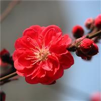 江苏红梅,绿梅,榆叶梅,美人梅,腊梅