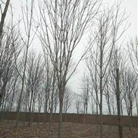 七叶树基地,批发大量8-15公分七叶树