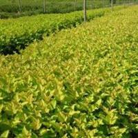 金叶风箱果种植基地,金叶风箱果种植厂家,金叶风箱果批发