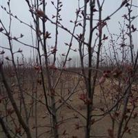 大量出售海棠榉树