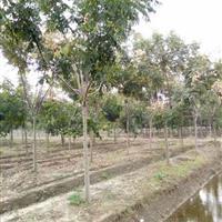江蘇低價供應優質白蠟,欒樹等園林行道樹。