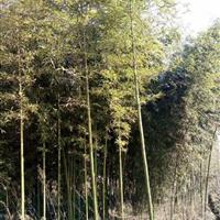 竹子基地供应早园竹、金镶玉竹、紫竹、刚竹、淡竹、观音等