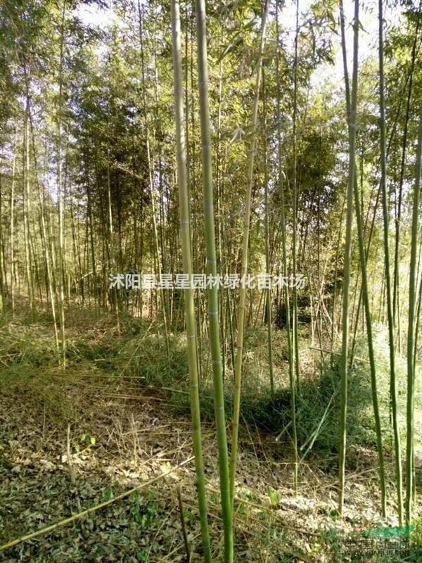 竹子基地供应早园竹,金镶玉竹,紫竹,刚竹,淡竹,观音等