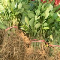 江苏星星园林600万棵优质大叶黄杨小苗起苗中。