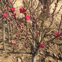 出售红梅,绿梅,骨红梅,垂丝桃,寿星桃,腊梅,榆叶梅,美人梅