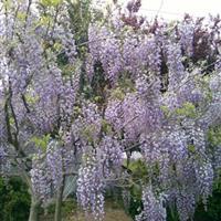 供应紫藤花,紫荆