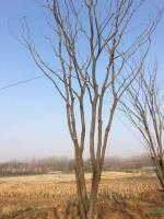 江苏丛生朴树新报价/丛生朴树在市场的需求和作用