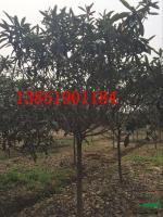 江苏枇杷树