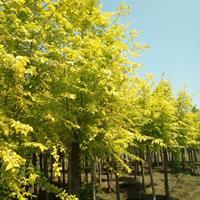 金叶榆、金叶垂榆、榆树