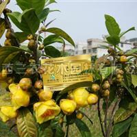 四季红山茶花和四季金花茶区别 茶花小苗价格 茶花厂家直供