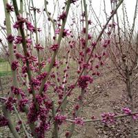 江苏低价出售紫荆,紫荆开花中,花朵鲜艳