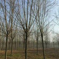 江苏低价销售白蜡行道树,白蜡起苗中,质量优