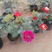 江苏品种月季,大花月季, 藤本月季 , 玫瑰,  殴月专卖