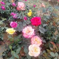 江苏品种月季 玫瑰 大花月季供应