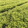 供应各种绿化苗木