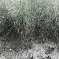 杭州萧山新街伟亦花木园艺场出售凤尾竹