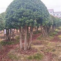 多杆杨梅球基地,杨梅景观园,杨梅价格
