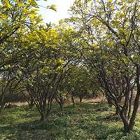柚子树 香柚树 香泡树价格
