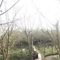 成都郫县温江崇州长期低价供应黄葛树,黄桷树,大叶榕等乔灌木