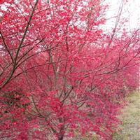 红枫、日本红枫、美国红枫、青枫、三角枫、五角枫