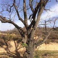 米径40公分柿树图片·米径40公分柿树快乐赛车开奖·快乐赛车开奖山西柿子树
