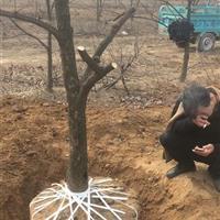 15公分柿树图片·15公分柿子树详情·15公分柿子树价格更新