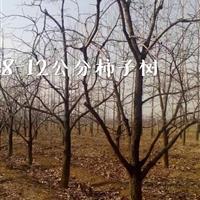15公分柿树图片·15公分柿树价格·占地柿子树价格详情