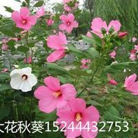 山东大花秋葵种植基地