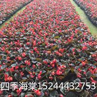 山东四季海棠种植基地