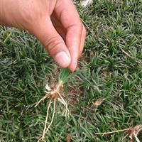 麦冬草 地被植物 细叶麦冬草 矮化麦冬草园林绿化小区绿化