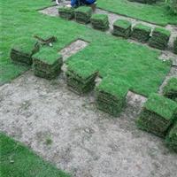 草坪基地百慕大,马尼拉,高羊茅,四季青,中华结缕草