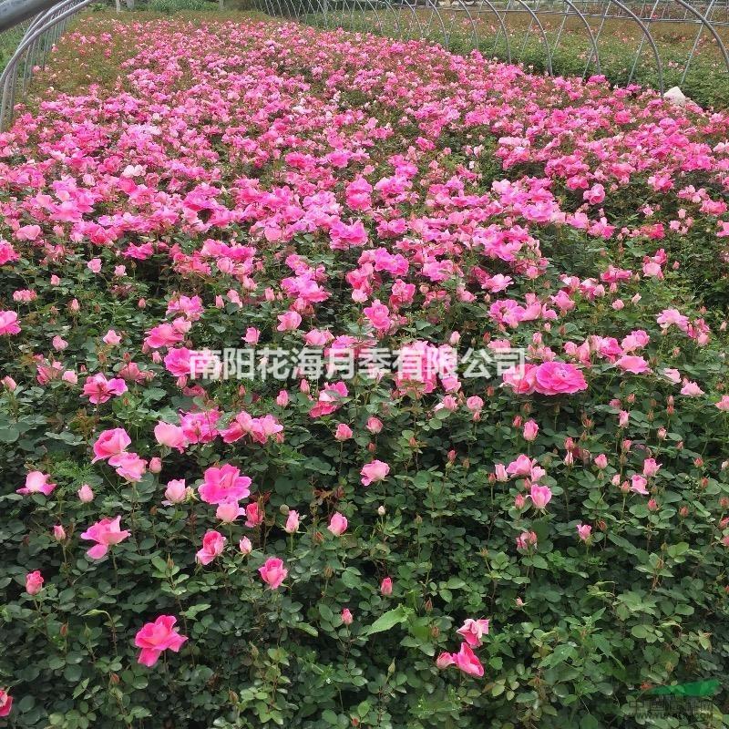 南阳花海月季有限公司
