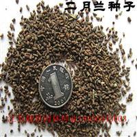 二月兰种子报价 二月兰种子种植方法 二月兰种子批发