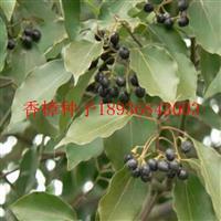 香樟种子报价 香樟种子种植方法 香樟树苗批发 香樟行情