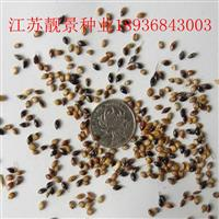 苏丹草种子报价 苏丹草种子种植方法 苏丹草牧草种子批发