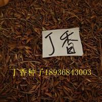 丁香種子報價 丁香種子種植方法 丁香苗批發 丁香叢生基地供應