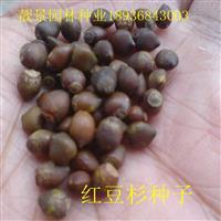 红豆杉种子价格 红豆杉种子种植方法及简介 红豆杉苗供应