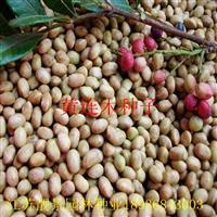 黄连木种子报价 黄连木种子种植方法及简介 黄连木树苗供应