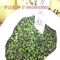 羅漢松種子價格 羅漢松種子種植方法及簡介 羅漢松苗批發