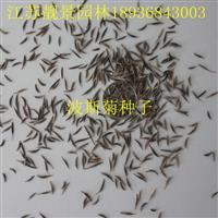波斯菊种子报价 波斯菊种子种植方法及简介 波斯菊种子批发