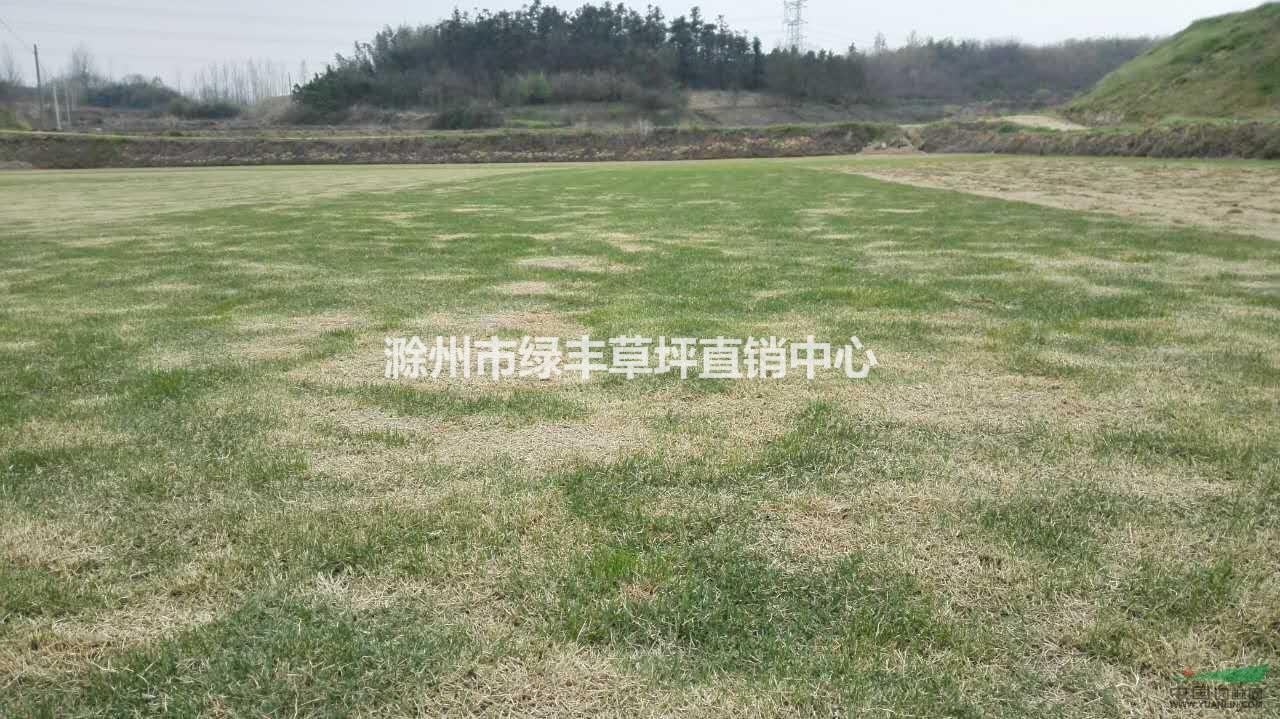 滁州市绿丰草坪直销中心