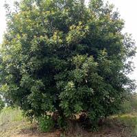 常年出售6-15公分枇杷,杨梅,香泡,桔子树等果苗