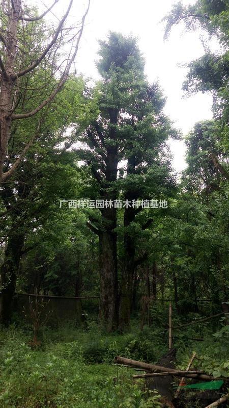 广西祥运园林苗木种植基地